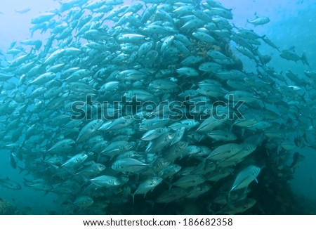 School of jack fish with coral underwater, marine life.