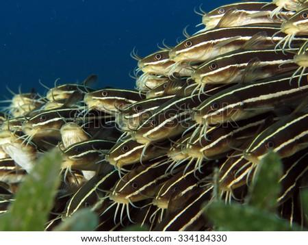 School of juvenile striped eel catfish - stock photo