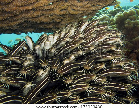 School of juvenile striped eel catfish under table coral - stock photo