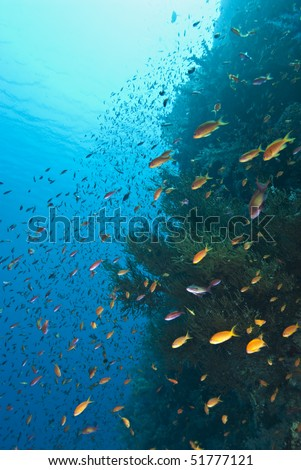 School of Lyretail anthias (Pseudanthias squamipinnis), swimming close to a colony of rare Branching black coral (Antipathes dichotoma). Shark reef, Red Sea, Egypt.