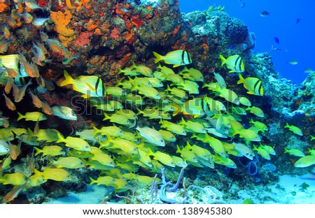 School of Porkfish (Anisotremus Virginicus), French Grunt (Haemulon Flavolineatum) and Caesar Grunt (Haemulon Carbonarium), Cozumel, Mexico - stock photo