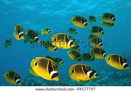 School of Raccoon butterfly fish