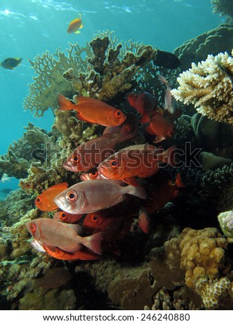 School of red and silver moontail bigeyes sheltered in a coral pinnacle - stock photo