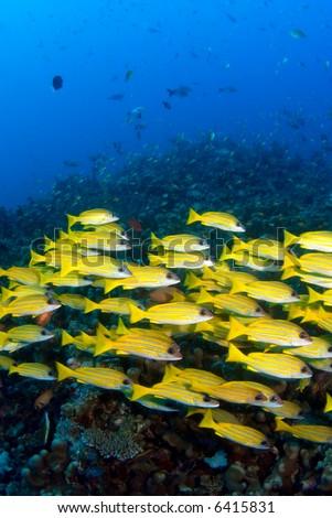 School of reef  fish - stock photo