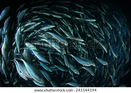 School of shoal of Mackerel fish underwater in sea - stock photo