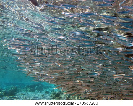 School of small silvery fish  - stock photo