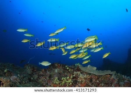 School of Snappers fish on coral reef