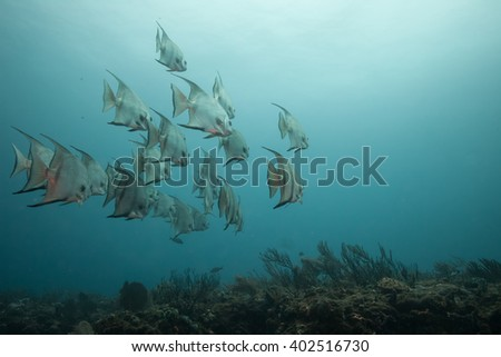 School of Spade Fish in the Blue Water of Jupiter, Florida - stock photo