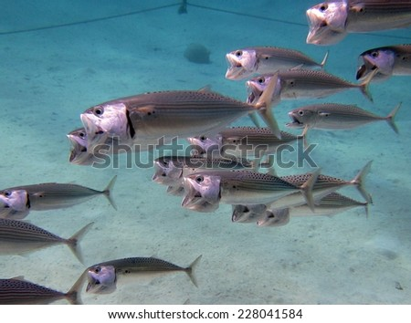 School of striped mackerels hunting for food with jaws opened - stock photo
