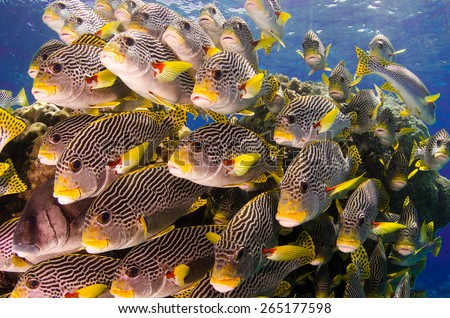 School of Sweet-lips, Great Barrier Reef, Australia - stock photo