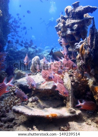 School of the Redcoat squirrelfish (Sargocentron rubrum) hiding close to the old wooden wreck. Red Sea, Egypt - stock photo