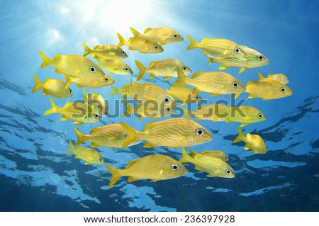 School of tropical fish, French grunt, with sunlight through water surface, Caribbean sea - stock photo