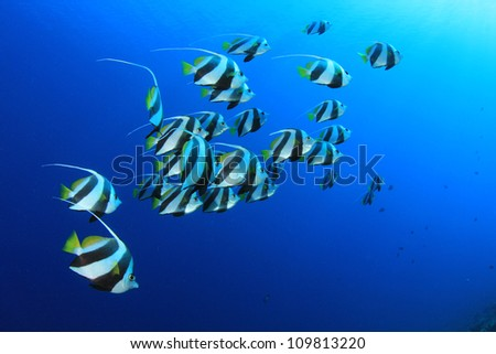 School of Tropical Fish: Red Sea Bannerfish - stock photo
