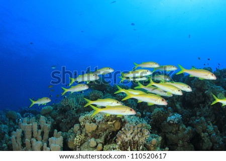 School of Tropical Fish: Yellow Goatfish on coral reef
