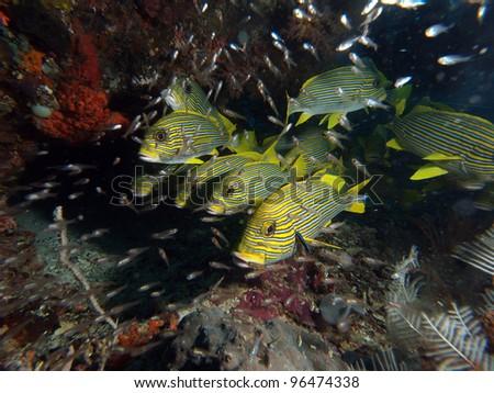 School of yellow ribbon sweetlips (Plectorhinchus polytaenia) in Indo-Pacific ocean - stock photo
