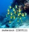 School of yellow snappers in Maldives - stock photo