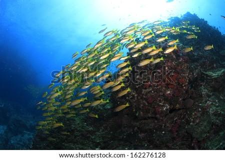 School of Yellow-stripe scad - stock photo