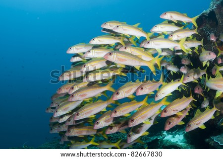 School of yellow striped Goatfish on a coral reef off Bali, Indonesia - stock photo