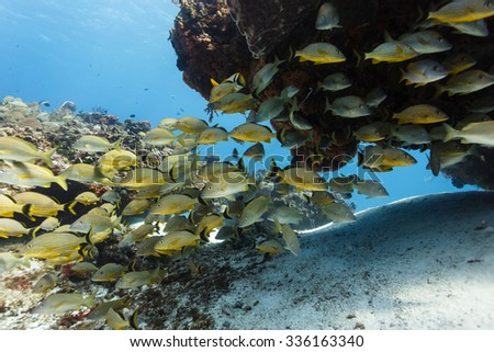 School of  yellow tropical fish swims under an outcrop of rock on coral reef