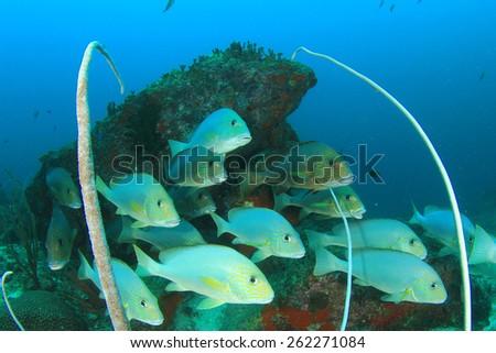 School Silver Sweetlips fish - stock photo