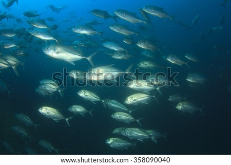 School trevally fish jack