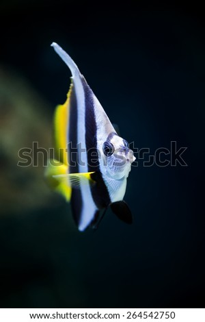 Schooling bannerfish (Heniochus diphreutes) marine fish close-up in aquarium (shallow focus) - stock photo