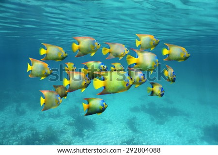 Schooling colorful tropical fish, queen angelfish, under water surface, Caribbean sea - stock photo