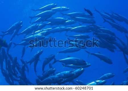 schooling jack and trevally fish, Great barrier reef, Queensland , Australia