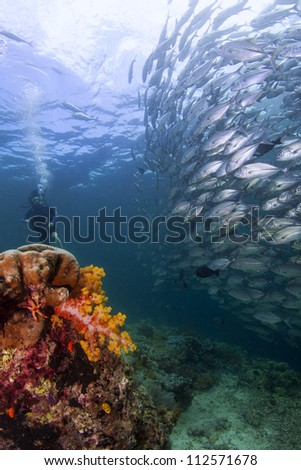 schooling jack fish in colourful coral reef of sipadan - stock photo