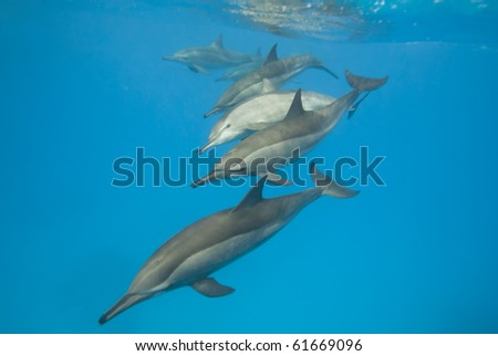 Schooling Spinner dolphins (Stenella longirostris). Sataya, Southern Red Sea, Egypt.