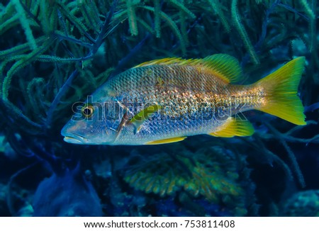 Schoolmaster snapper hiding in the coral on the reef in Bonaire