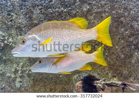 schoolmaster snapper, Lutjanus apodus, is a colorful, subtropical fish found over coral reef areas - stock photo