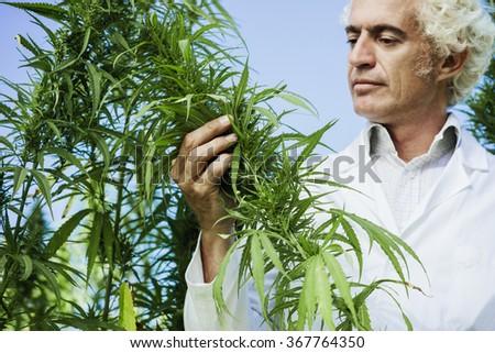 Scientist checking hemp plants in the field, alternative herbal medicine concept - stock photo
