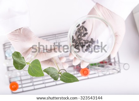 Scientists research Seedlings to determine species are best cow-pea in laboratory. - stock photo