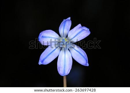 Scilla bifolia flower - isolated on black background - stock photo