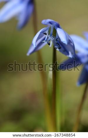 Scilla siberica - stock photo