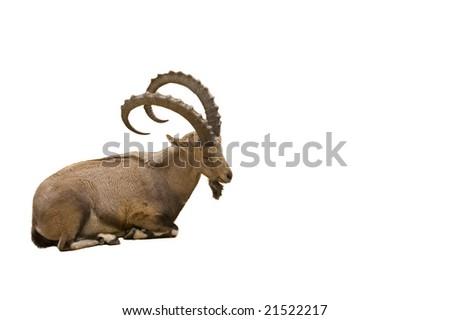 Scimitar horned Ibex isolated on white background - stock photo