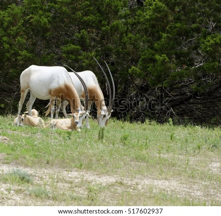 Scimitar-Horned Oryx Antelopes and young in grassland