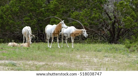 Scimitar-Horned Oryx antelopes and young in grassland at a treeline