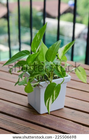 Scindapsus aureus Eagler in white vase - stock photo