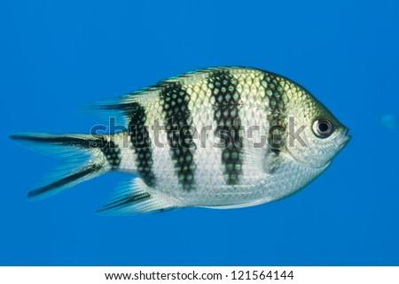 Scissortail sergeant fish. (Abudefduf sexfasciatus) - stock photo