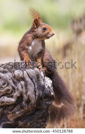 Sciurus vulgaris Red squirrel - stock photo