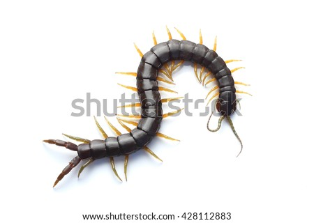 Scolopendra isolated on white background