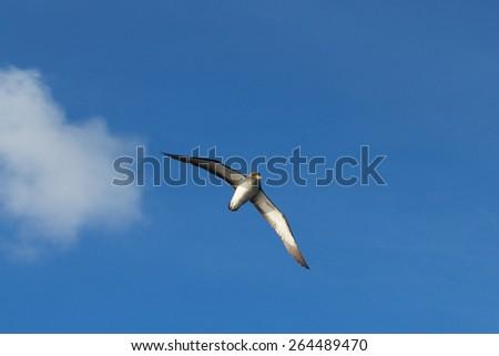 Scopoli's shearwater-Calonectris borealis, Birds of Azores Archipelago - stock photo