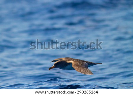 Scopoli's shearwater - Calonectris borealis  of Azores Archipelago. - stock photo