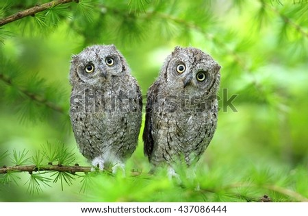 Scops owl brothers