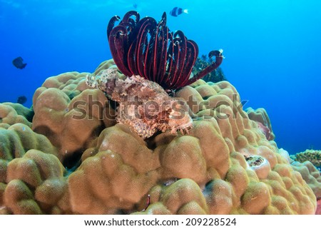 Scorpion Fish resting on top of a hard coral on a tropical reef - stock photo