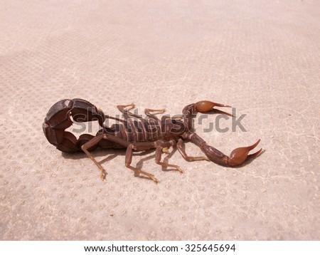 Scorpion. Poisonous chlenistonogy deserts in the Emirates. - stock photo