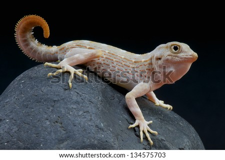 Scorpion Tailed Gecko / Pristurus carteri