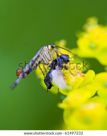 Scorpionfly with the prey, macro - stock photo